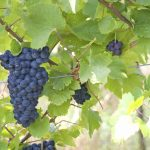 Grape ripening vineyards